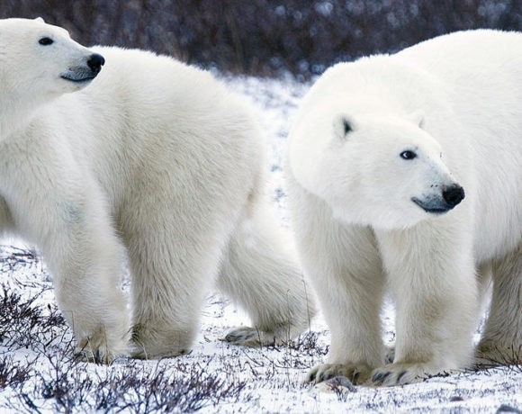 europe times european news trendy daily Mass invasion of polar bears in Russian islands 2