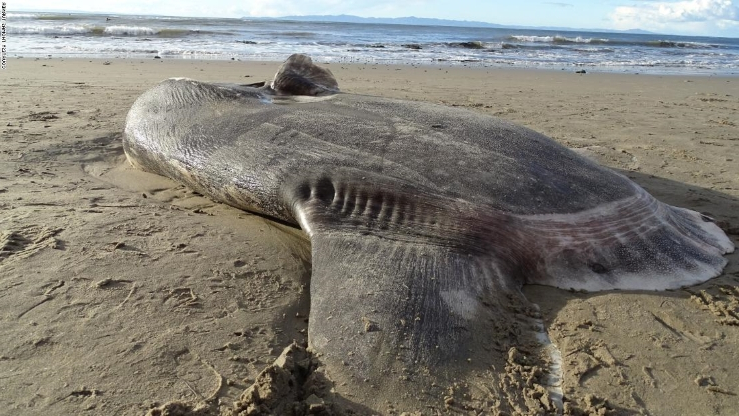 europe-times-news-world-daily-trending-A huge rare fish washes up on California beach